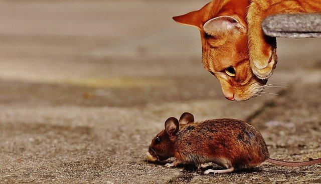 myš a kočka